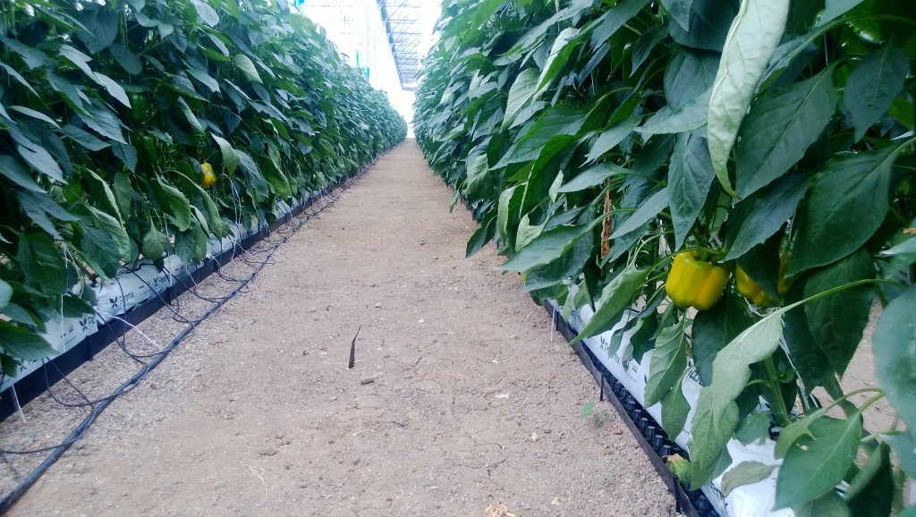 Peppers growing