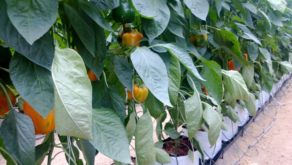 Peppers becoming ripe