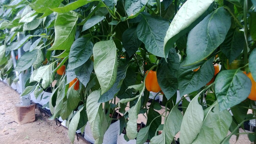 Orange Peppers on the Vine