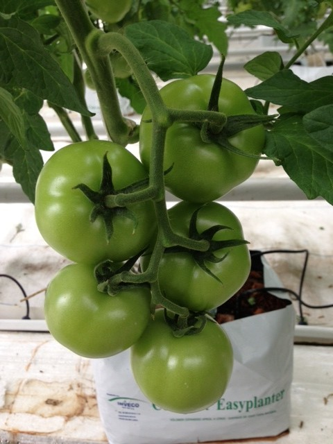 On the Vine Tomatoes